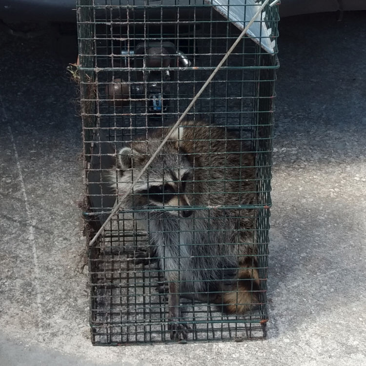 Image of racoon in a trap