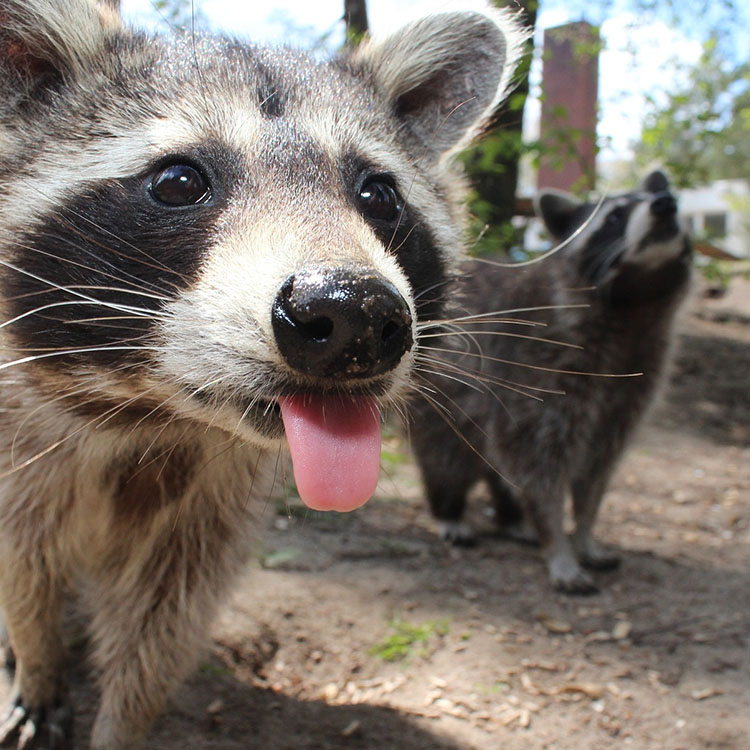 Wildlife Management Pros 187 Animal Control 187 Raccoons 187 How