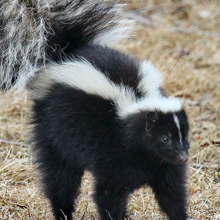 wildlife management pros animal control skunks skunks stuck down the window well. Black Bedroom Furniture Sets. Home Design Ideas