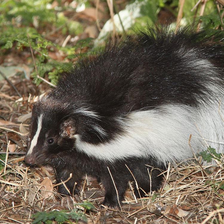 Wildlife Management Pros » Animal Control » Skunks » How ...